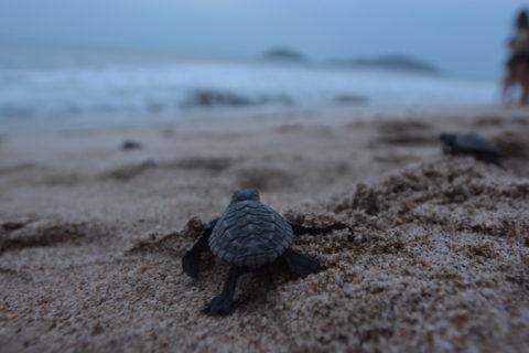 Acuario de Mazatlán: liberación de tortugas