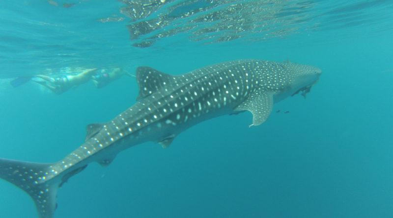Avistamiento del Tiburón Ballena en La Paz, BJCS