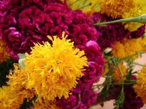 Cempasúchil: la flor de los muertos