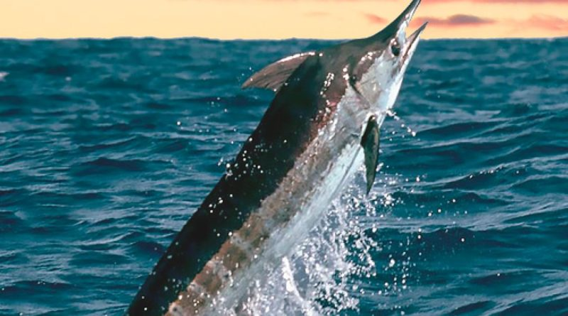 Pez Marlin Pesca Deportiva